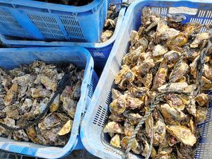 コロナ禍で売り上げが8割減少し、漁師の元に余るカキ=2021年2月、宮城県内、食べチョク提供