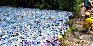 約5千輪の花々が浮かぶ「あじさいの池」=岩手県、一関市、三浦英之撮影