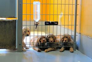 ニチイグリーンファームが繁殖、販売しているオーストラリアン・ラブラドゥードルの子犬たち=2021年3月、太田匡彦撮影