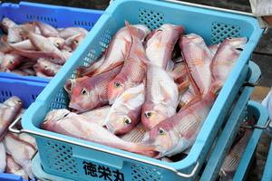 アマダイは関西では「グジ」と呼ばれる高級魚だ=2021年9月1日午後2時25分、秋田県由利本荘市、高橋杏璃撮影