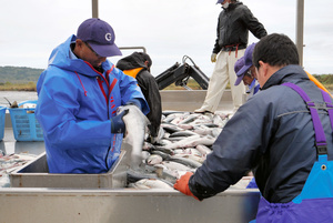 漁業者たちが水揚げしたサケのエラを見て死んでいないかを確認していた=2021年10月5日午前7時7分、北海道豊頃町の大津漁港、中沢滋人撮影