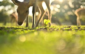 もの静かに草をはむシカ=奈良市、上原佳久撮影