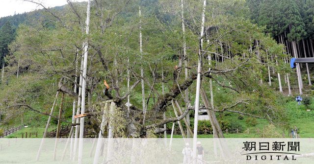 Typhoon No 21: The Three Great Cherry Blossoms in Japan, Branch of