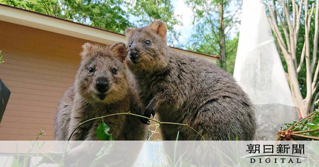 日本 クオッカ ワラビー