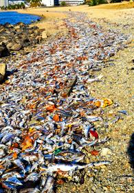 海岸に大量のイワシ死骸 周辺は生臭い臭い 兵庫・西宮:朝日新聞デジタル