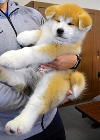 韓国 人 秋田 犬