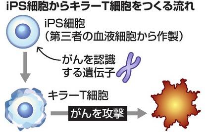 iPSからがん攻撃力の高いキラーT細胞作製 京大など:朝日新聞デジタル