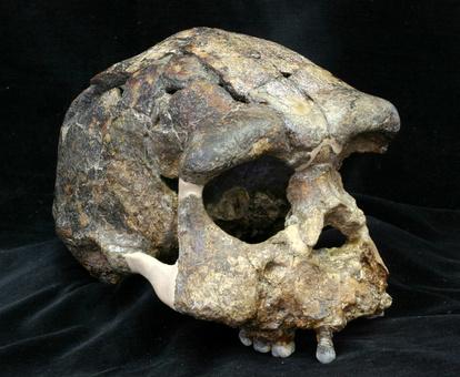ジャワ原人、アフリカからの旅に数十万年かかった?:朝日新聞デジタル