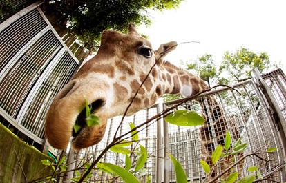 キリンの首はなぜ長い 舌も30センチの長さに進化 朝日新聞デジタル