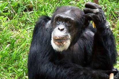 共食い チンパンジー チンパンジーを食べる習性がある国があるらしいのですが、チンパンジーを食べ