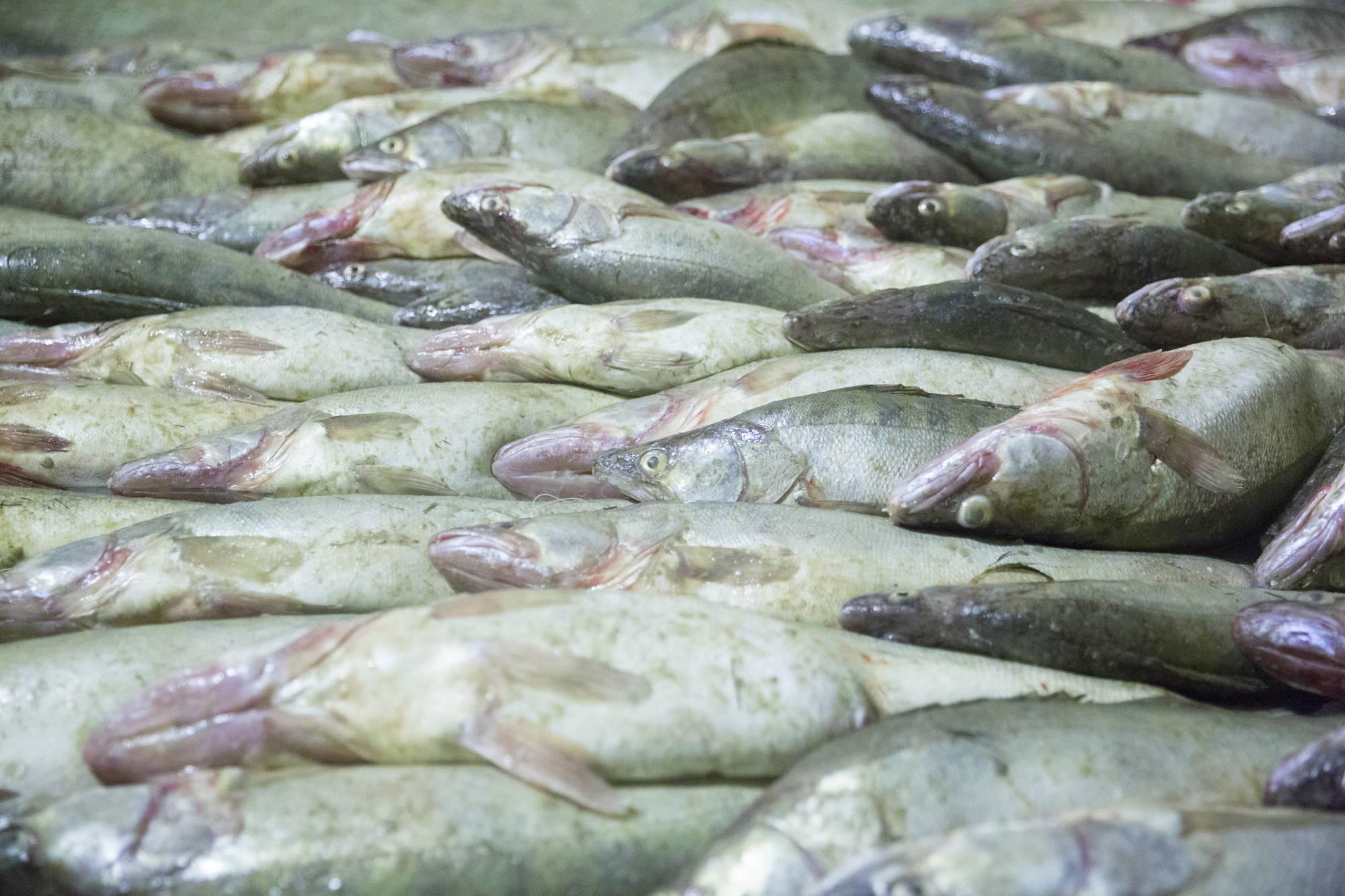 アラル海で水揚げされたローチ。...