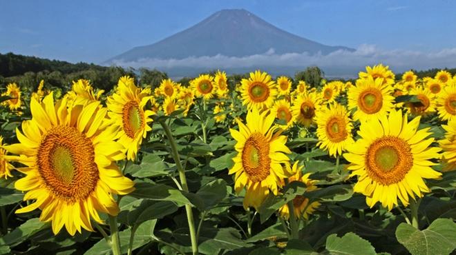 山中湖でヒマワリ見ごろ 富士山もくっきり
