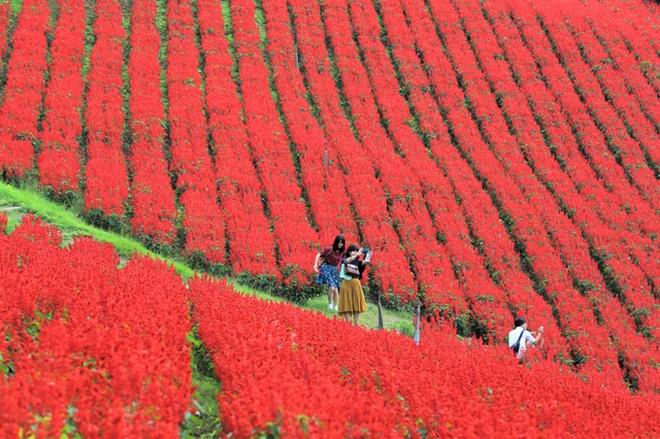 【動画】真っ赤なサルビア、秋風に揺れて 千葉・マザー牧場