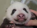 上野のパンダの成長