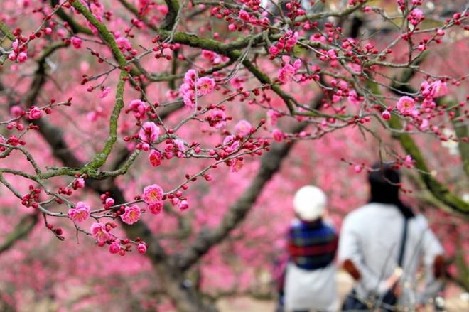 【動画】春告げる梅 香川・栗林公園で見ごろ