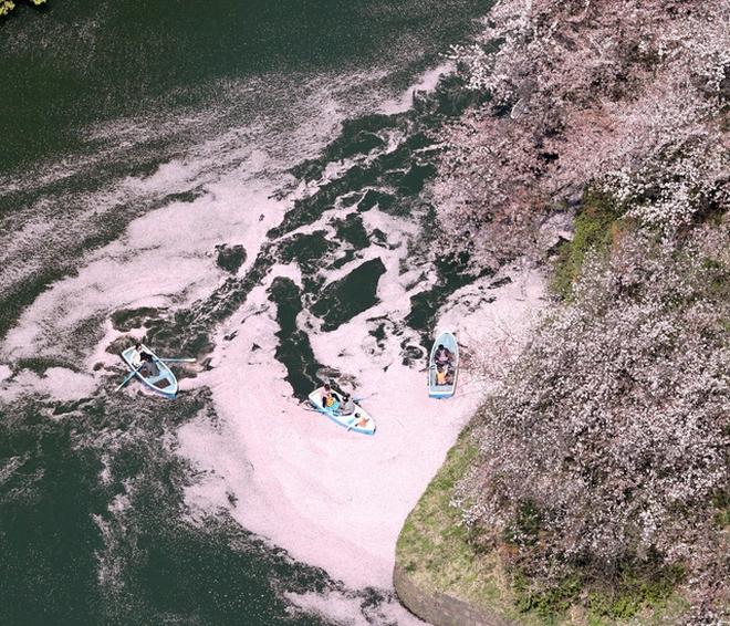 【動画】「花いかだ」お堀を染める 東京・千鳥ケ淵