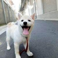 柴犬は愛玩犬じゃない ガブガブ嚙む子犬、社会化で変身