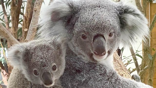 【360度動画】ユーカリ食べるコアラに大接近